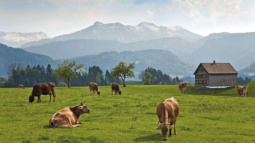 Kühe im Bregenzerwald - Foto: Andreas Gaßner / Vorarlberg Tourismus
