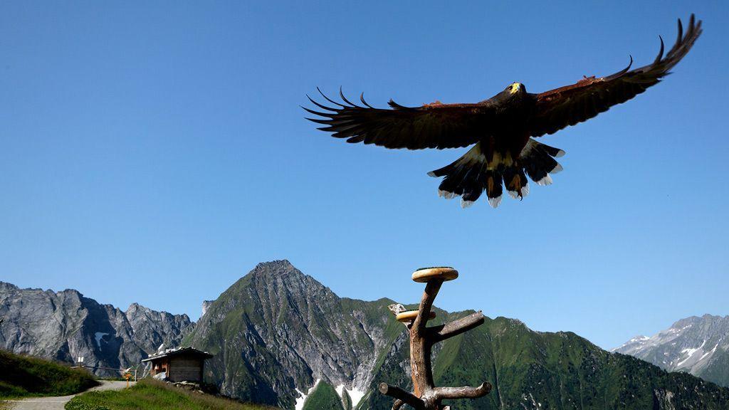 Adlerbühne Ahorn in Mayrhofen - die höchstgelegene Greifvogelstation Europas - Foto: Mayrhofen