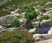 Saussurea: der botanischer Garten