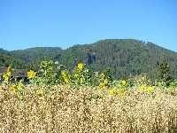 Sonnenblumen - Gnesau Kaernten