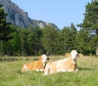 Kuh im Naturpark - Hohe Wand Niederoesterreich