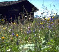 Frühsommerwiese - Grafschaft Wallis