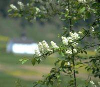 Traubenkirsche - Grafschaft Wallis
