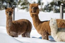 Winter- Erlebnisse - Alpaka Spaziergang