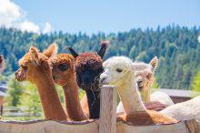 Summer Activities - Alpaca walk