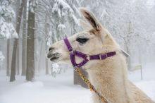 Wintererlebnis mit Lamas