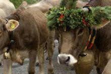 Almabtrieb der Kühe