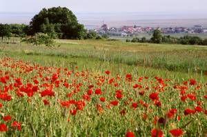 Mohnblumenfeld mit Blick auf Jois vom Kirschlütenrad B 12 - Jois Burgenland