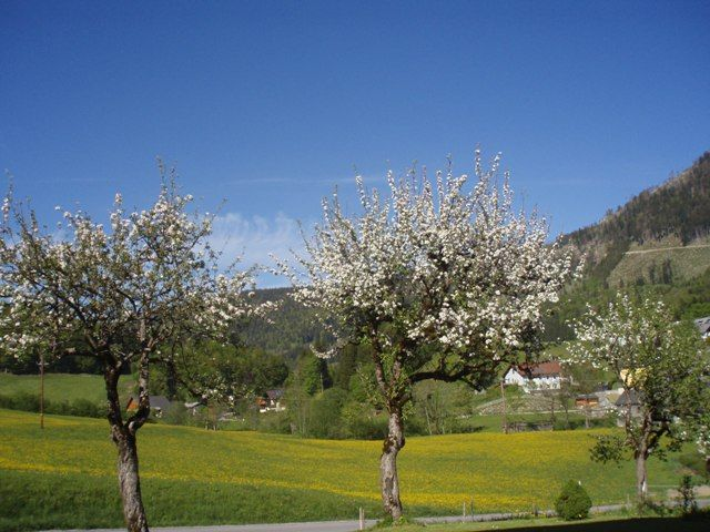 Apfelbaumblüte - Eisenstattgut Tanzberger Faistenau