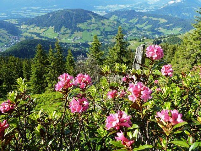 Die Zeit der Alpenrosenblüte in den Bergen ist etwas ganz Besonderes. - Wildschoenau  (Regiune) Tirol